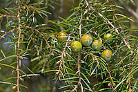 Igel-Wacholder, Igelwacholder, Nadel-Wacholder, Nadelwacholder, Juniperus rigida, temple juniper, Needle Juniper, Le Genévrier rigide