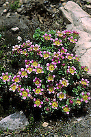 Zweiblütiger Steinbrech, Zweiblüten-Steinbrech, Saxifraga biflora, Two flowered saxifrage, Two-flowered saxifrage, Saxifrage à deux fleurs, Steinbrechgewächse, Saxifragaceae