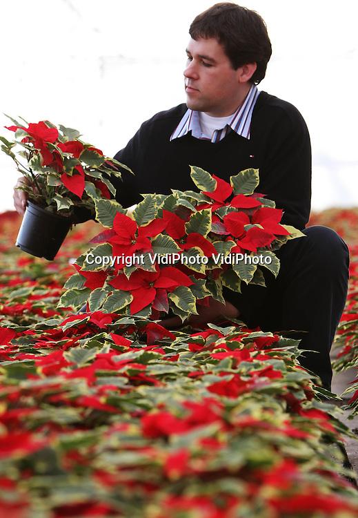 Foto: VidiPhoto..BEMMEL - Het is de eerste en enige bonte kerstster van Nederland, een product van kweker Wilko Hofstede uit Bemmel. Het nieuw ontwikkelde product is dit seizoen voor het eerst te krijgen. Het staat in zelfs nog in geen enkele catalogus. Voor de Bemmelse kweker is het ook een experiment. Dit jaar wil hij er 1500 stuks in de markt zetten om te zien hoe groot de belangstelling voor deze meerkleurige kerstster is..
