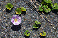 A variety of morning glory grows in the sands of False Klamath Cove along the Pacific Ocean south of Crescent City, California.