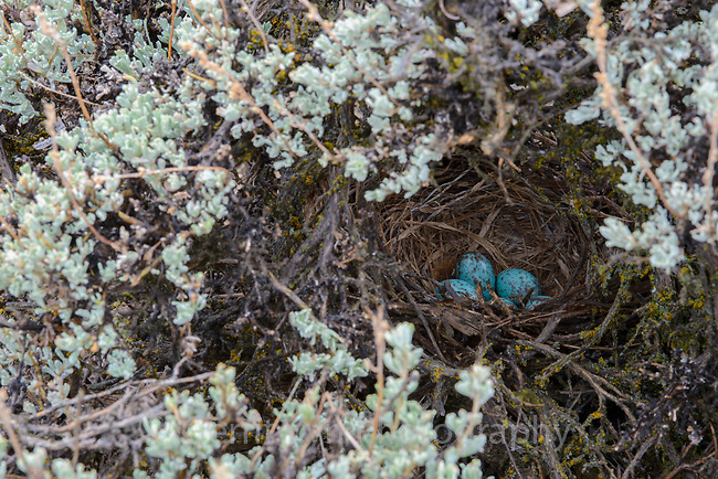Sage Thrasher (Oreoscoptes montanus)nest and eggs in a Wyoming big sagebrush (Artemisia tridentata). Sublette County, Wyoming. May.