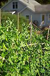 Detail of pea plants in flower inside the organic kitchen garden of a cozy farmhouse on Vashon Island, just across Puget Sound from Seattle, Washington. Garden design by Stenn Design