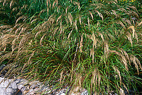 Achnatherum calamagrostis aka Stipa calamagrostis (Silver Spike Grass) in bloom, full plant