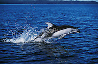 nb84. Pacific White-sided Dolphin (Lagenorhynchus obliquidens) leaping. British Columbia, Canada, Pacific Ocean..Photo Copyright © Brandon Cole.  All rights reserved worldwide.  www.brandoncole.com..This photo is NOT free. It is NOT in the public domain...Rights to reproduction of photograph granted only upon payment of invoice in full.  Any use whatsoever prior to such payment will be considered an infringement of copyright...Brandon Cole.Marine Photography.http://www.brandoncole.com.email: brandoncole@msn.com.4917 N. Boeing Rd..Spokane Valley, WA 99206   USA..tel: 509-535-3489