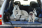 Dogs in station wagon