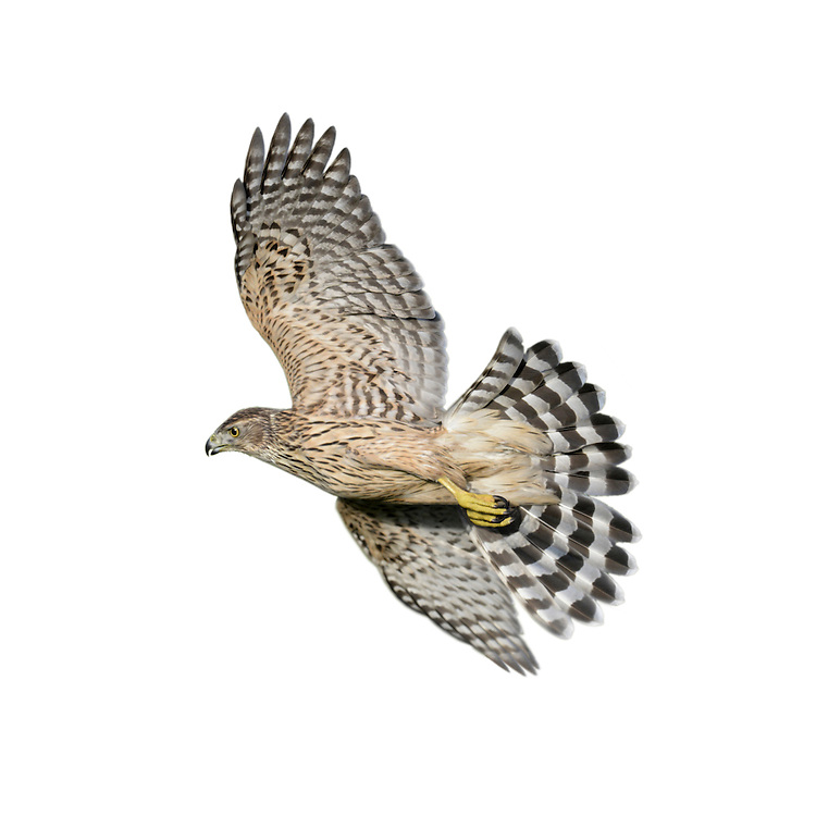 Goshawk Accipiter gentilis - Immature Male. W 100-115cm. Impressive, buzzard-sized raptor. In flight, note broad, rounded wings and relatively long but thickset barred tail. Soaring birds fan their tails and splay white, fluffy, undertail. Close view (an unusual event) reveals orange eye, yellow legs and feet, and striking pale supercilium. Xexes are similar but male is smaller than female. Adult has mainly grey-brown upperparts; pale underparts are marked with fine dark barring. Juvenile has brown upperparts; buffish underparts are marked with dark, teardrop-shaped spots. Voice Utters a harsh kie-kie-kie in breeding season. Status Scarce but easily overlooked. Favours wooded habitats with adjacent open country.