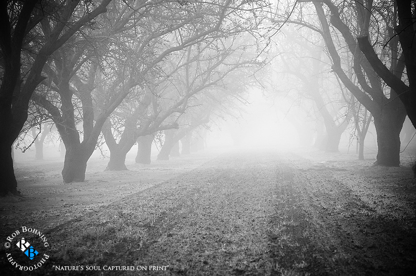 A mystical morning with fog shrouding the almond orchards in the California central valley