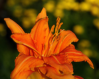 Last Day Lily of the season. This was made just after sun-up, a few days after the Summer Solstice 2012.