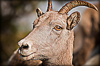 Close view of face of a young Big Horn Ewe