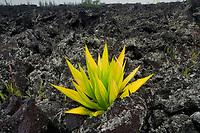 Lone aloe plant in AA lava The Puna Coast, Hawaii.