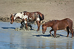 Wild horse stallion Picasso, left, and his mate, Spirit Dancer splash in a waterhole in Sand Wash Basin Horse Management Area in northwest Colorado.