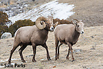 Bighorn sheep ram and ewe during the rut. Park County, Montana.