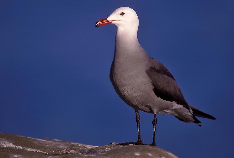 Heermann's Gull - Larus heermanni - breeding adult