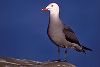 Heermann's Gull - Larus heermanni - breeding adult