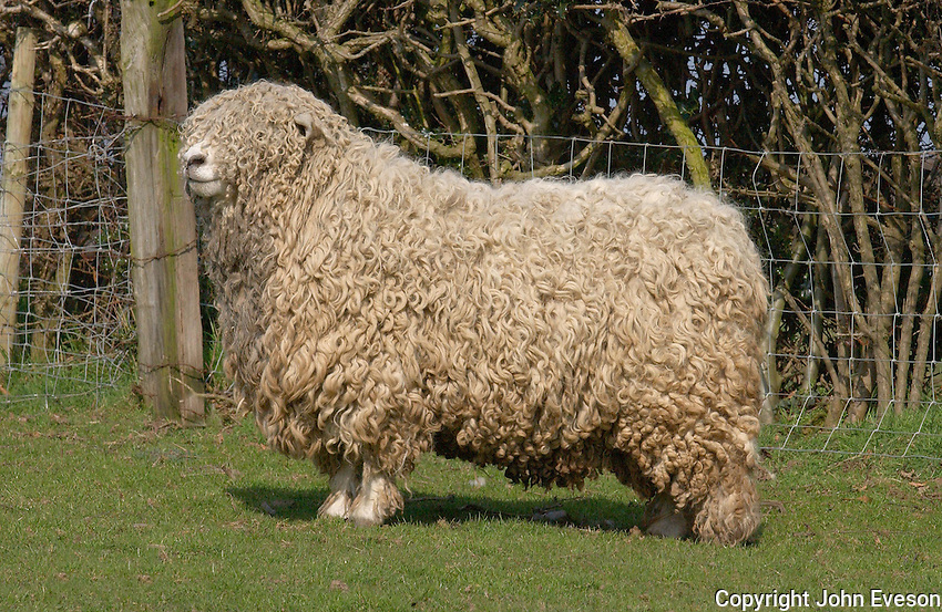 Devon and Cornwall Longwool ram.