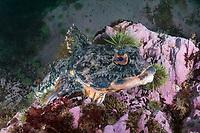 Shorthorn Sculpin, (Myoxocephalus scorpius), Deer Island, New Brunswick, Canada, Atlantic Ocean