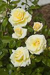 ROSA 'PRAIRIE HARVEST', SHRUB ROSE