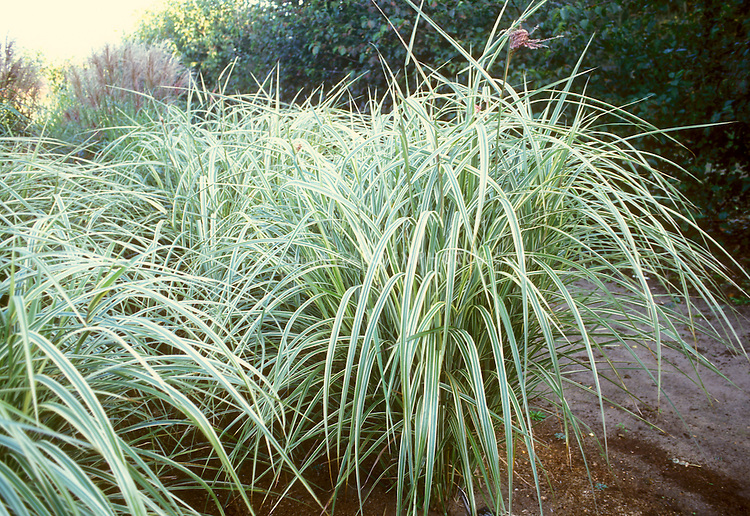 Miscanthus sinensis 39 dixieland 39 plant flower stock for Variegated ornamental grass