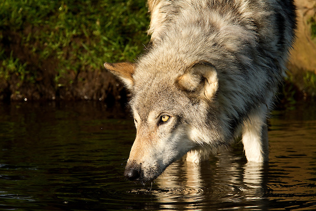 Grey wolf at the pond.<br />
