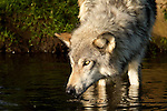 Grey wolf at the pond.<br /> <br /> Available sizes:<br /> 18&quot; x 12&quot; print <br /> 18&quot; x 12&quot; canvas gallery wrap <br /> 24&quot; x 16&quot; <br /> See Pricing page for more information Also available as a mousepad or greeting cards.