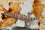A Socotran Ground Gecko (Hemidactylus homoeolepis) on rocks, endemic to Socotra, Yemen.