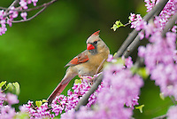 Female Northern Cardinal (Cardinalis cardinalis) in redbud tree.  Great Lakes Region. Spring.