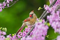 Female Northern Cardinal (Cardinalis cardinalis) in redbud tree.  Great Lakes Region. Spring.