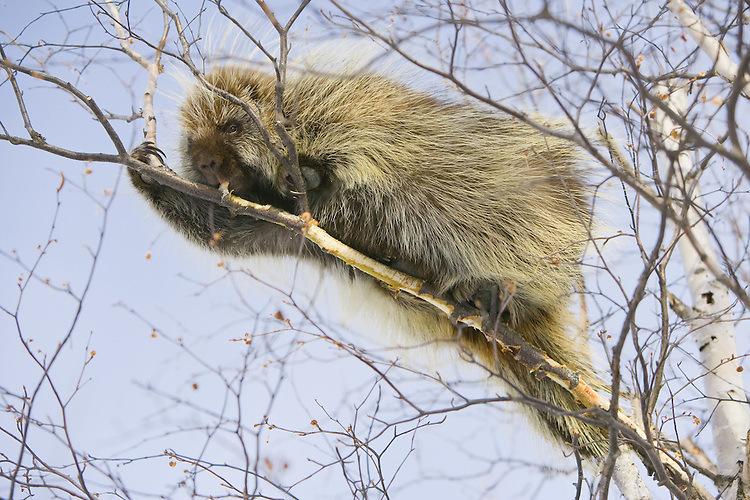 Porcupine eating the bark from a birch bark tree