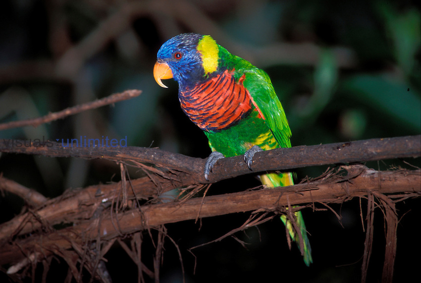 Trichoglossus haemetodus. A Rainbow Lorikeet. San Diego Wild Animal Park, California.