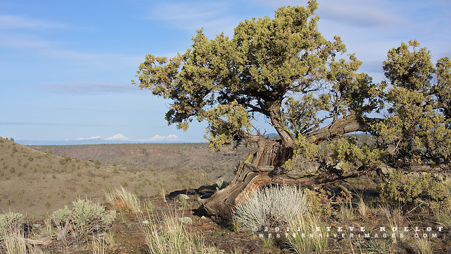 A gnarled juniper perched on the rimrock above the Crooked River, looking toward the Three Sisters, Oregon.