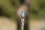 bluebird, (Sialia currucoides), winter