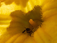 In a squash blossom, bees collect pollen.