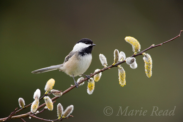 Black-capped Chickadee (Poecile atricapilla) perched with pussy willow catkins, New York, USA