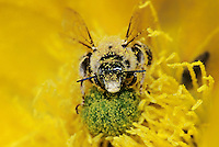 320040031 a wild honey bee apis mellifera pollinates a bright yellow opuntia succculent flower on a private ranch in the rio grande valley of south texas