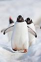 Gentoo Penguins (Pygoscelis papua). Peterman Island, Antarctic Peninsula, Antarctica.