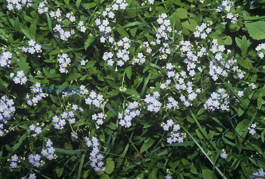 Forget-Me-Not flowers ,Myosotis scorpioides,, an introduced and invasive species, North America.