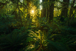 The lush ferns of the Quinault rainforest with subtle illumination from the early light of day.  Please view this photograph in dark surroundings.<br />