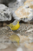 Nashville Warbler, Vermivora ruficapilla, adult drinking, Uvalde County, Hill Country, Texas, USA, April 2006