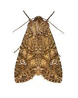 73.274 (2154)<br /> Cabbage Moth - Mamestra brassicae
