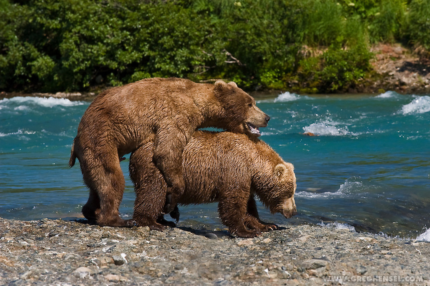 Brown Bears mating at McNeil River, Alaska