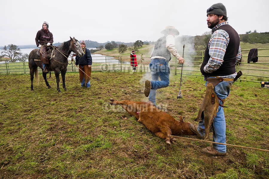 "Cattle marking and branding with the Dell""Orto family in the Sierra Nevada Foothills of California...**usage by any anti-livestock individual, group, publication, websites, e-mail or anything similar is prohibited."