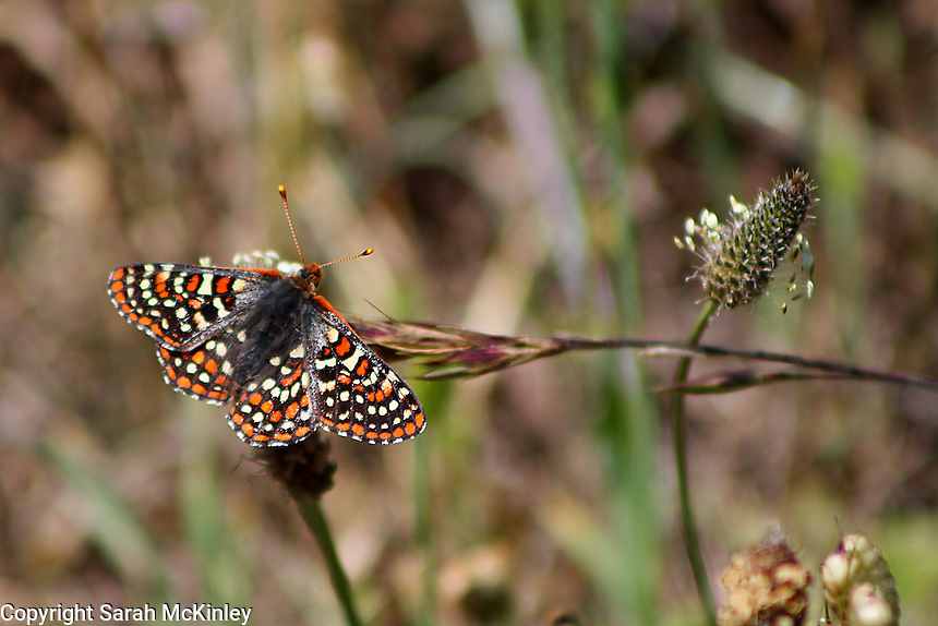 An orange and black checkerspot butterfly perched on the flowering head of English Plantain at MacKerricher State Park near Fort Bragg on the Pacific Coast of Mendocino County in Northern California.