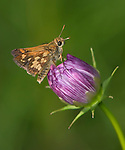 A Tiny Butterfly, The Peck's Skipper On A Purple Flower Bud, Polites peckius