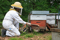 A woman beekeeper taps a hive to move the queen away from the frames being tapped, which then allows her to remove the frames.