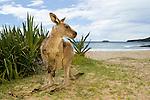 Eastern Grey Kangaroo (Macropus giganteus) male on beach, Pebbly Beach, Murramarang National Park, New South Wales, Australia