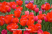 65021-03602 Red tulips, MO Botanical Gardens, St Louis, MO