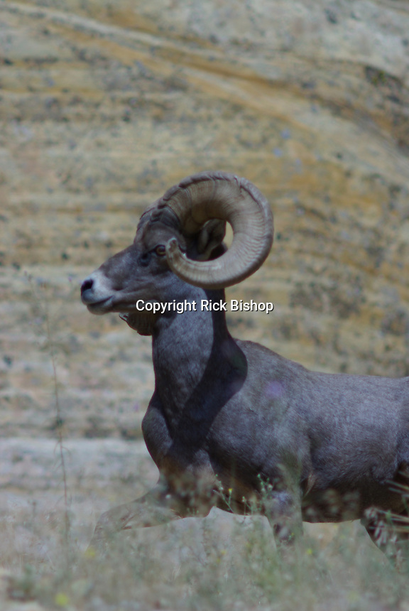 Desert Bighorn Sheep Ram seen in southern Utah's Zion National Park on a summer day.