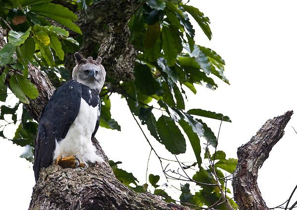 Parauapebas_PA, Brasil..Harpia (Harpya harpyja) em castanheira (Bertholletia excelsa) na floresta amazonica, Para..Harpy (Harpy harpyja) in  brazilian walnut (Bertholletia excelsa) in the Amazon forest in the Floresta Nacional de Carajás, Para...Foto: JOAO MARCOS ROSA / NITRO