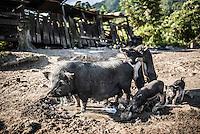 Pigs in a village at Lake Toba (Danau Toba), North Sumatra, Indonesia
