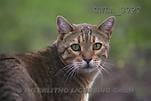 Carl, ANIMALS, photos(SWLA3722,#A#) Katzen, gatos